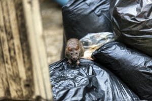 "Chicago Tops Dubious ""Rattiest Cities"" List for Sixth Straight Year"